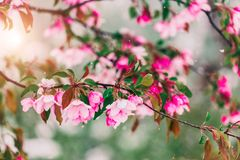 Free Blossom Tree Over Nature Background. Beautiful Nature Scene With Blooming Tree, Sun And Snow. Stock Photography - 129465292
