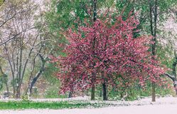 Free Blossom Tree Over Nature Background. Beautiful Nature Scene With Blooming Tree, Sun And Snow. Royalty Free Stock Photography - 133520137
