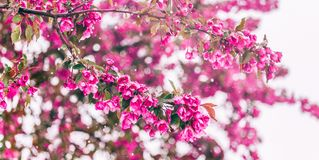 Free Blossom Tree Over Nature Background. Beautiful Nature Scene With Blooming Tree, Sun And Snow. Stock Photo - 133520450