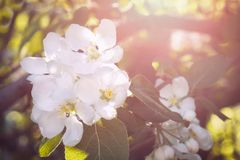 Blossom tree over nature background/ Spring flowers/Spring Background royalty free stock photography