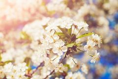 Blossom tree over nature background/ Spring flowers/Spring Background royalty free stock image