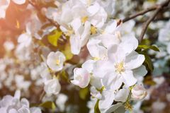 Blossom tree over nature background/ Spring flowers/Spring Background stock photos