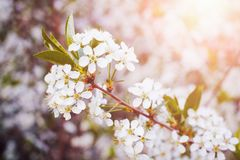 Blossom tree over nature background/ Spring flowers/Spring Background stock image