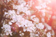Blossom tree over nature background/ Spring flowers/Spring Background stock photo