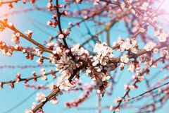 Blossom tree over nature background/ Spring flowers/Spring Background stock photography