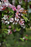 Blossom tree over nature background/ Spring flowers Stock Photo