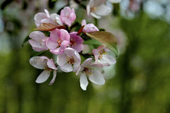 Blossom tree over nature background/ Spring flowers Stock Images