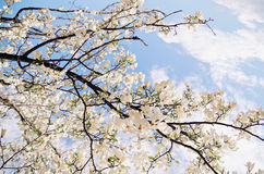 Blossom tree over nature background Stock Photography