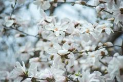 Magnolia branch in sunny morning. Blossom tree over nature background. Spring flowers. Spring Background. magnolia branch in sunny morning. Beautiful white royalty free stock image