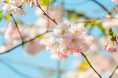 Blossom tree over nature background. Spring flowers. Spring Back. Beautiful colorful fresh spring flowers with clear blue sky. Spring pink blossoms with blur sky Stock Image