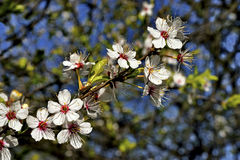 Blossom tree over nature background/ Spring flowers/Spring Background Stock Images