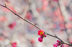 Blossom tree over nature background. Spring flowers. Spring Background Royalty Free Stock Images