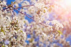 Blossom tree over nature background/ Spring flowers/Spring Background royalty free stock photo