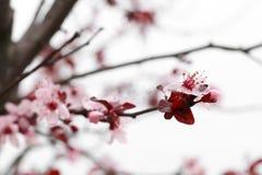 Springtime Tree flowers background Royalty Free Stock Image