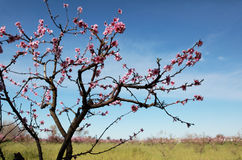 Blossom tree over nature and blue sky background Stock Photography