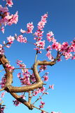 Blossom tree over nature and blue sky background Stock Images