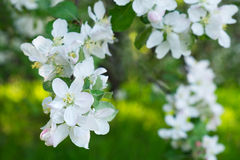 Blossom tree over nature Spring flowers stock photo