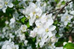 Blossom tree over nature Spring flowers blue sky stock image