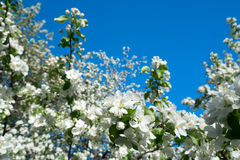Blossom tree over nature Spring flowers blue sky Royalty Free Stock Image