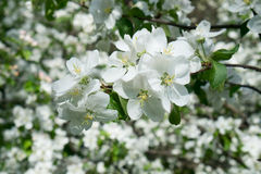 Blossom tree over nature Spring flowers horizontal background royalty free stock images