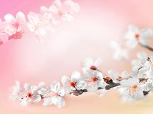 Free Blossom Tree Over Pink Background. Spring Flowers. Spring Background Royalty Free Stock Photo - 169540515