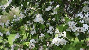 Blossom tree stock video