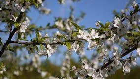 Blossom tree sky cherry branch blue sky background. stock video footage