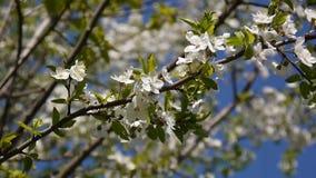 Blossom tree sky cherry branch blue sky background. stock video