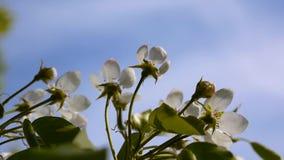 Blossom tree sky cherry branch blue sky background. Static camera shooting. stock footage