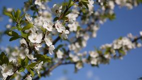 Blossom tree sky cherry branch blue sky background. Static camera shooting. stock video footage
