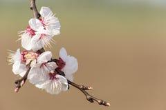 Blossom tree. Spring apricot tree flower blossom Stock Images