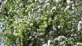 Blossom tree by spring. Bright blossom apple tree by spring with tilt camera movement stock footage