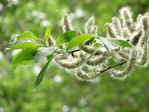 Blossom tree spring in may royalty free stock photo