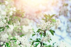 Blossom tree, spring nature background. Sunny day. Easter and blooming concept. Spring flowers with sun rays, copy space. Blossom tree, spring nature background stock images