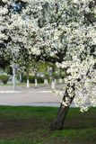 Blossom of a tree at spring season. White blossom of a tree at spring season in city park Stock Photography