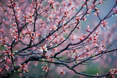 Blossom Tree in spring time Stock Photos