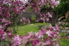 village garden tree branch apple blossom wood fence spring stock images