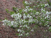 Blossom tree. White flowers in treetop with brick wall background Royalty Free Stock Images
