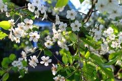 Blossom tree. White blossom tree in spring Stock Photos