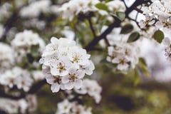 Blossom tree. White blossom trees in Gradina Zmeilor natural park, Salaj county, Romania Stock Photo