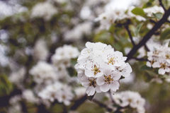 Blossom tree. White blossom trees in Gradina Zmeilor natural park, Salaj county, Romania Stock Images