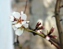 Blossom trees Royalty Free Stock Photo