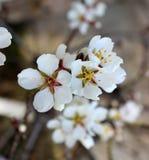 Blossom trees Royalty Free Stock Photos