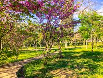 Blossom trees in the city park in the spring. Nature scene with sun in sunny day. royalty free stock photo