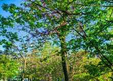 Blossom trees in the city park in the spring. Nature scene with sun in sunny day. stock photography