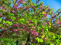 Blossom trees in the city park in the spring. Nature scene with sun in sunny day. stock photo