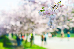 Blossom trees and flowers in a park. Beautiful spring nature view with people. Trees and sunlight. Scene of sunny day. Natural bac. Kground Royalty Free Stock Photography