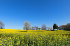 Blossom trees in rapeseed field Stock Photo