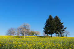 Blossom trees in rapeseed field Stock Images
