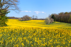 Blossom trees in rapeseed field Royalty Free Stock Photos
